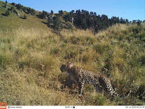 Получено подтверждение того, что леопард, от которого не поступали сигналы, жив