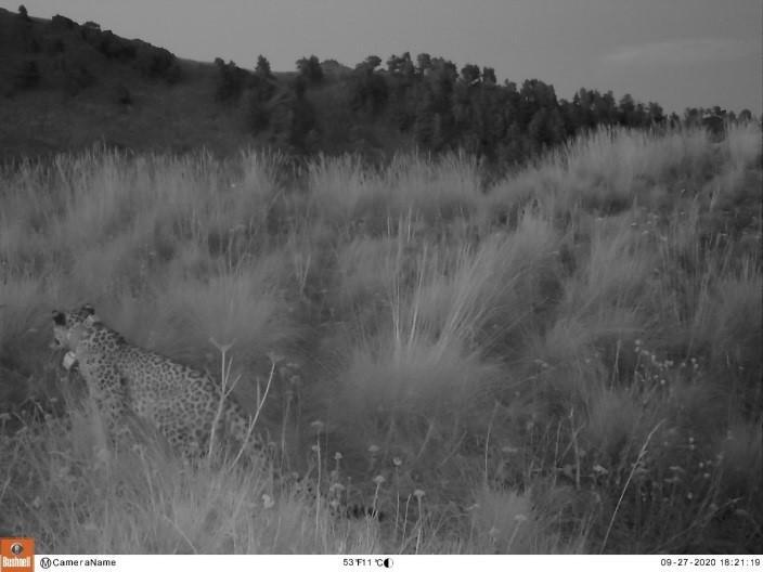 Вести о леопардах