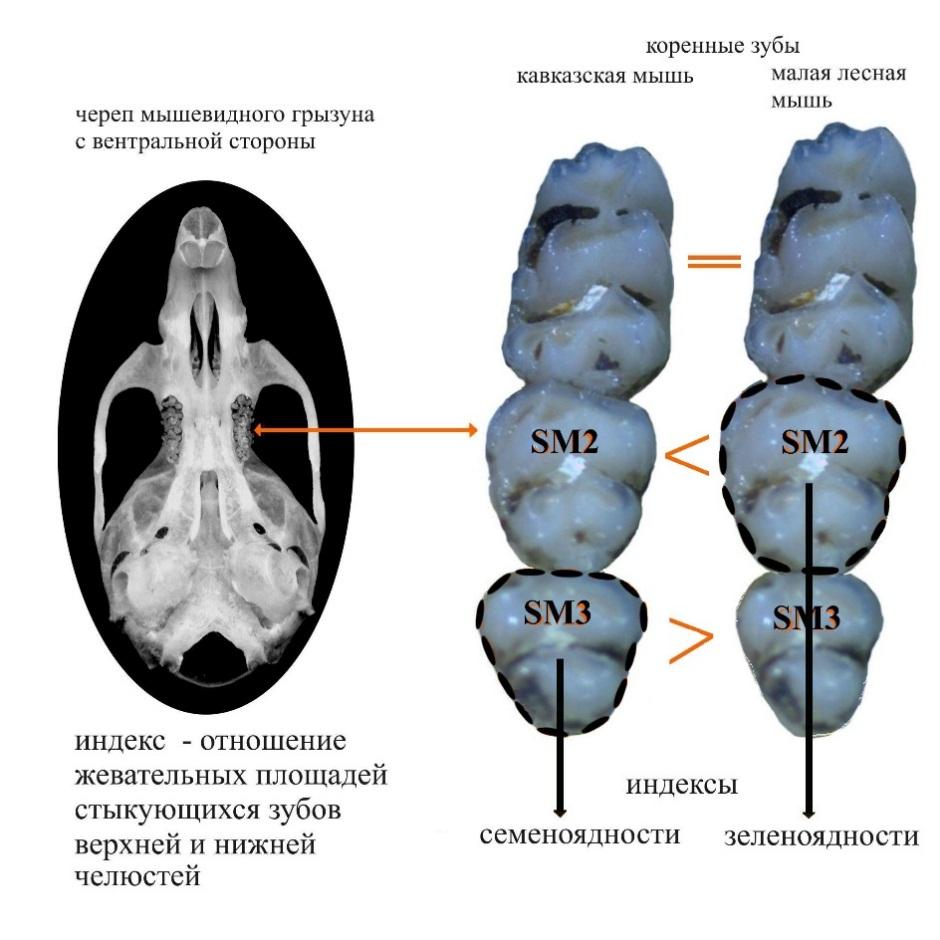 Индекс окклюзии коренных зубов, предложенный в качестве индикатора преобладающего типа питания у всеядных грызунов в зоне совместного обитания.