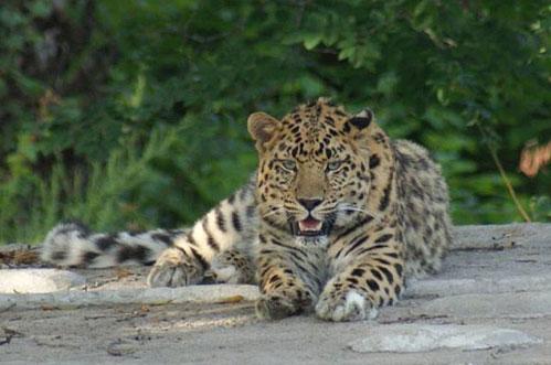 leopard_09.08.2016