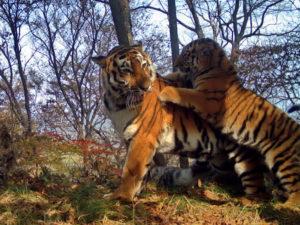 Амурские тигры устроили фотосессию в нацпарке «Земля леопарда» (Приморский край)