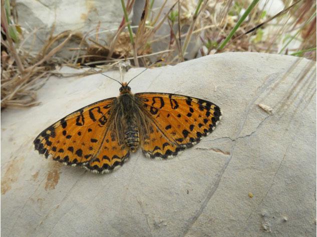 Российский ученый открыл новый вид дневной бабочки