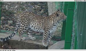 Выпущенная в дикую природу самка леопарда Виктория возвращена в Центр восстановления переднеазиатского леопарда в Сочи