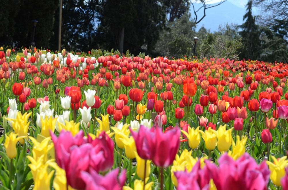 В Никитском ботаническом саду пройдёт выставка тюльпанов