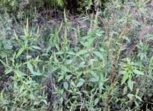 Амброзия голометельчатая – новый чужеродный вид флоры Кабардино-Балкарии